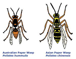 Australian wasp