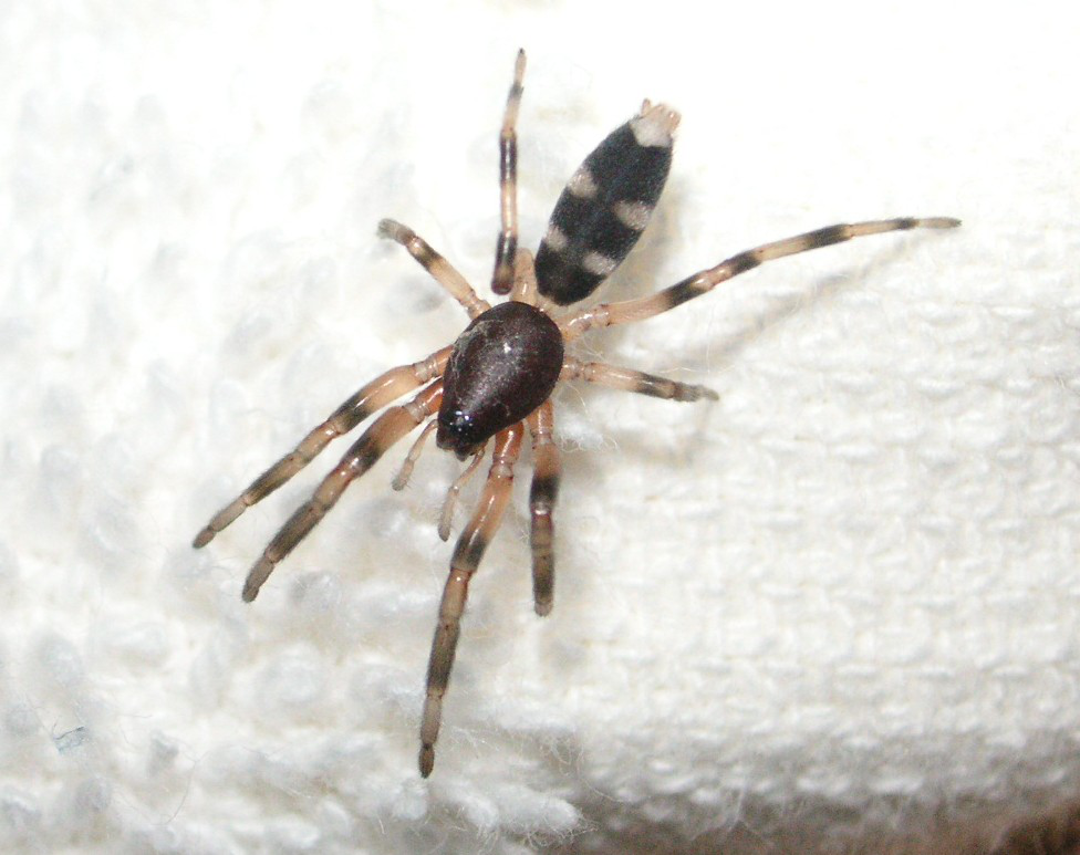 Whitetail spider
